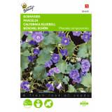 2 stuks Buzzy Phacelia campanularia