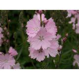 5 stuks Sidalcea Elsie Heugh Samplant