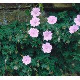 5 stuks Geranium sanguineum var. striatum