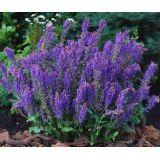 5 stuks Salvia nemorosa Blauhugel