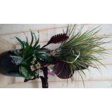 Calathea plantenbakje binnen