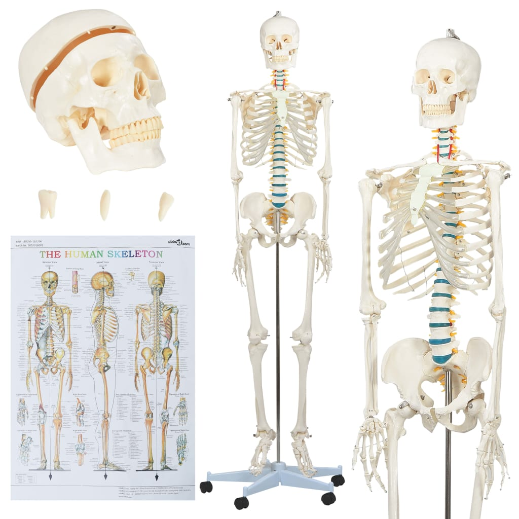 Inimese anatoomia skeleti õ..