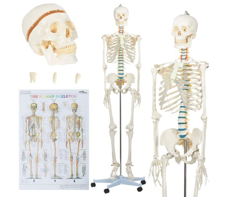 vidaXL Squelette d'anatomie d'enseignement avec affiche 181 cm