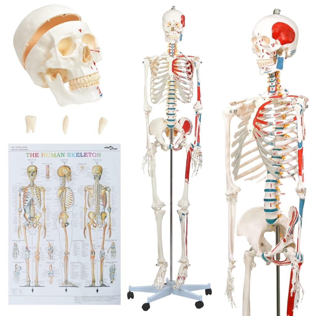 vidaXL Model schelet anatomic uman pentru studiu, cu poster, 181 cm poza 2021 vidaXL