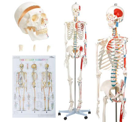 vidaXL Human Anatomy Skeleton Teaching Model with Poster 181 cm