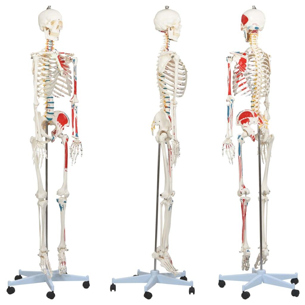 vidaXL Anatomický model lidské kostry výukový s plakátem 181 cm